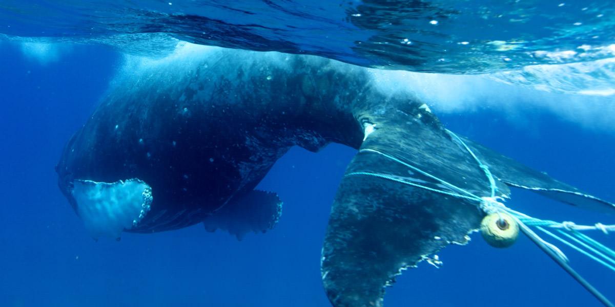 whale-entangled-lyman-hws-1200x600